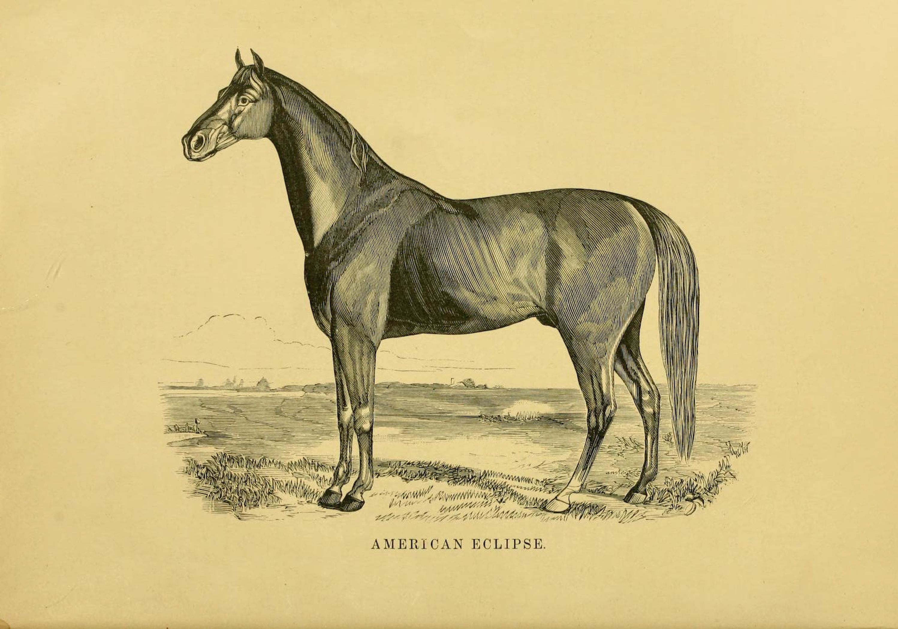 """Illustration of American Eclipse from """"Famous American Racehorses,"""" 1877 (Museum Collection)"""