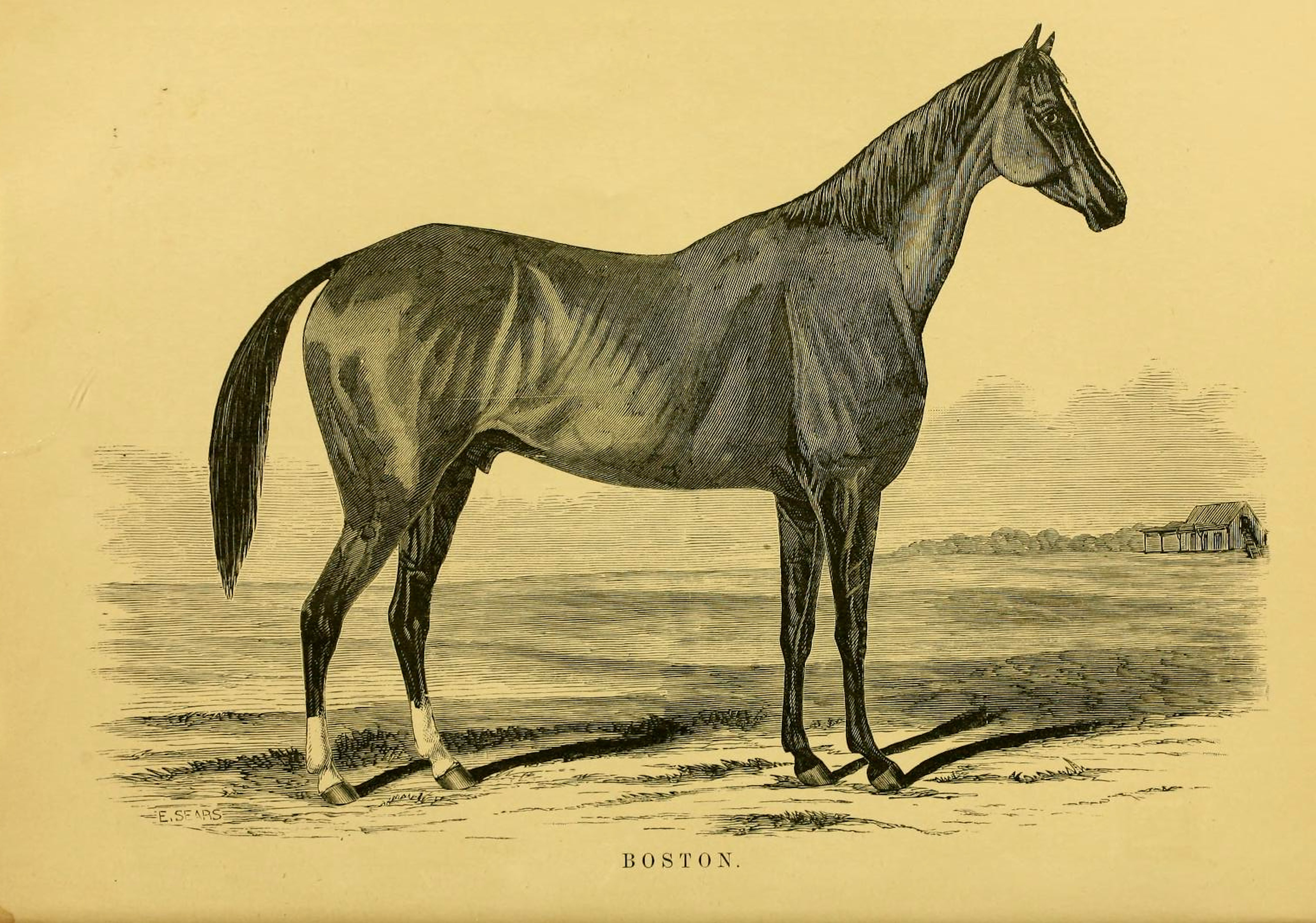 "Illustration of Boston from ""Famous American Racehorses,"" 1877 (Museum Collection)"
