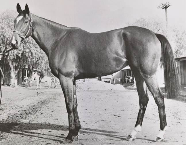 An undated conformation photograph of Gamely (Keeneland Library Thoroughbred Times Collection)