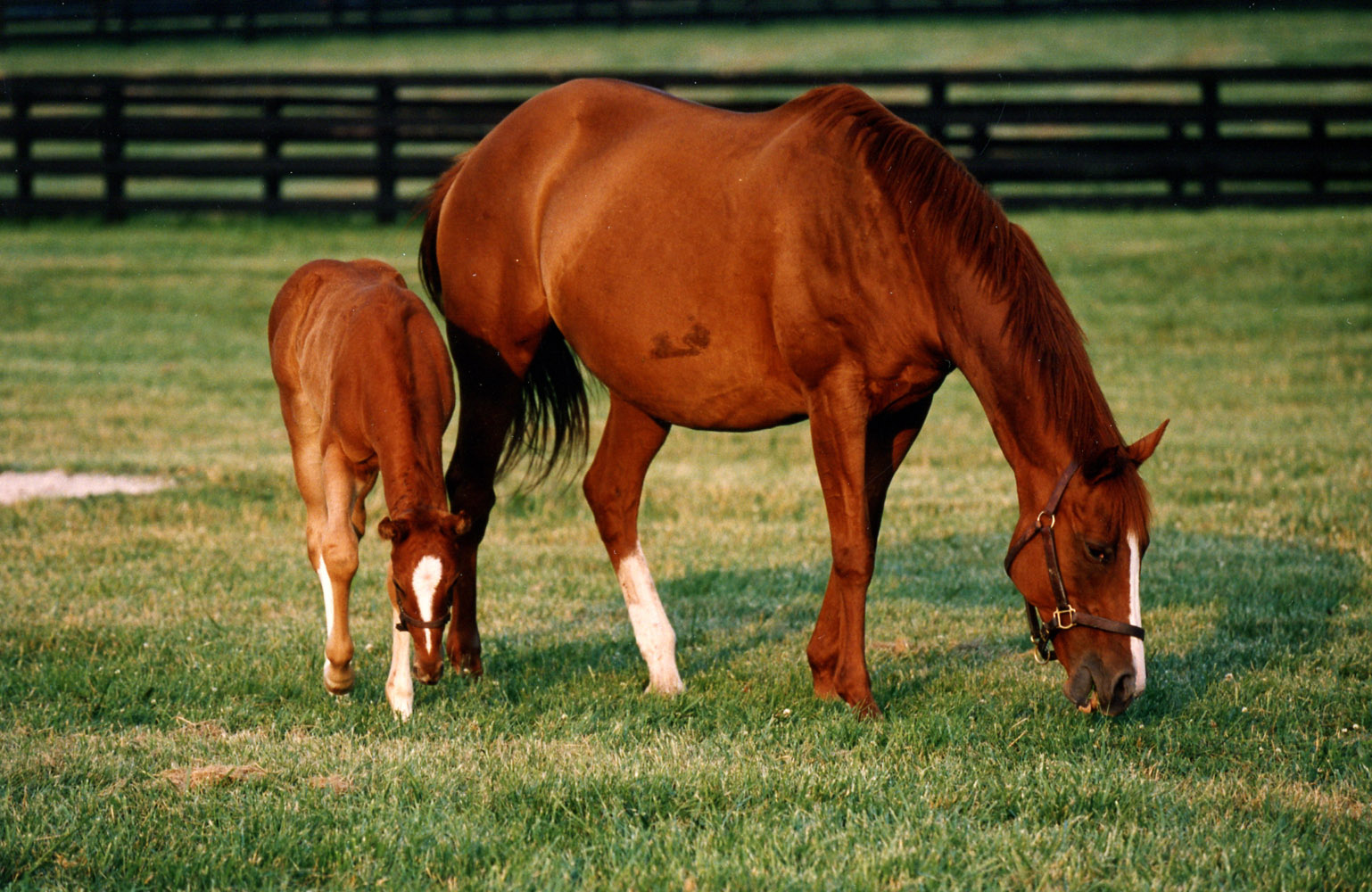 Genuine Risk with her foal at Three Chimneys Farm, June 1993 (Barbara D. Livingston/Museum Collection)