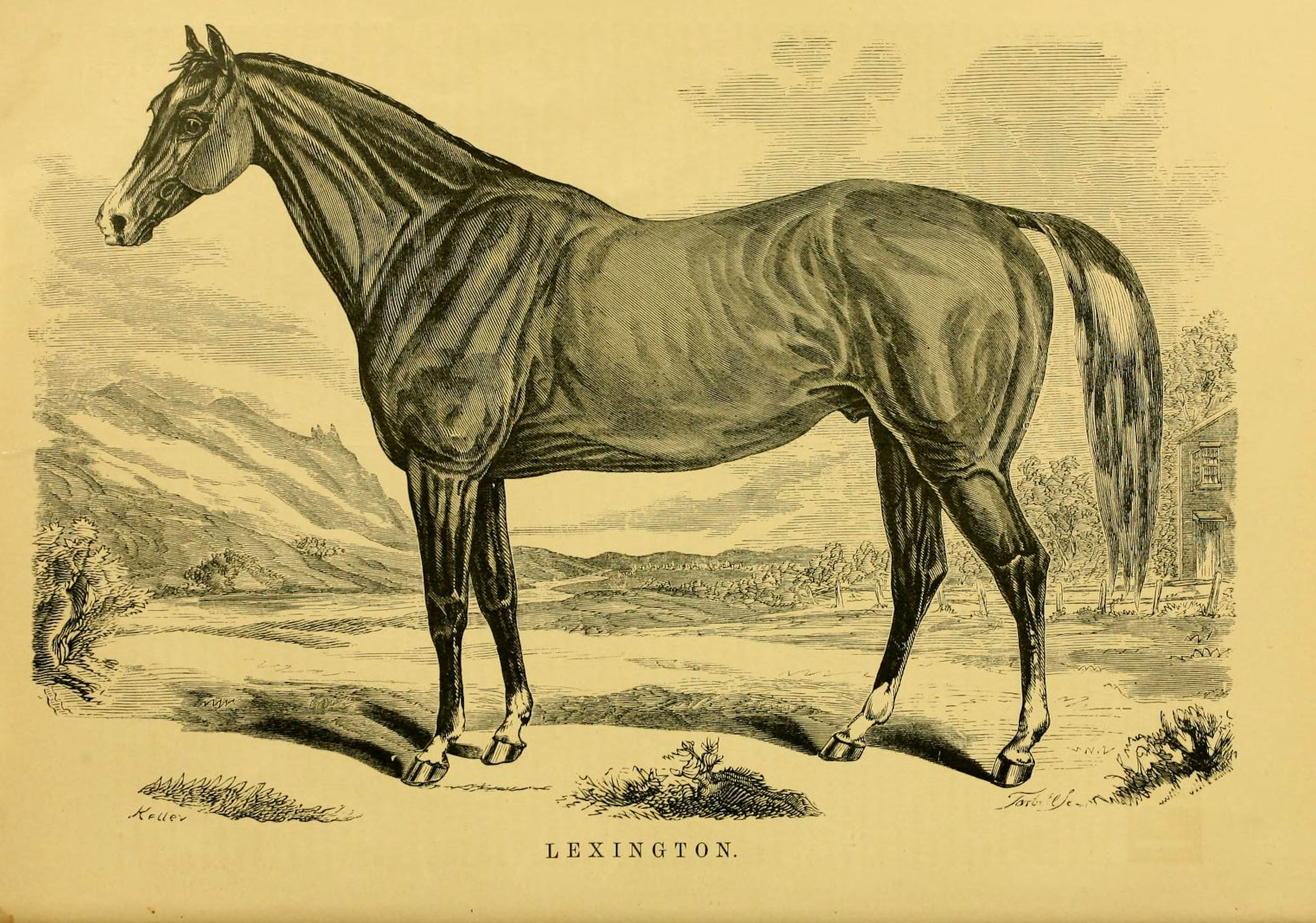 "Illustration of Lexington from ""Famous American Racehorses"", 1877 (Museum Collection)"