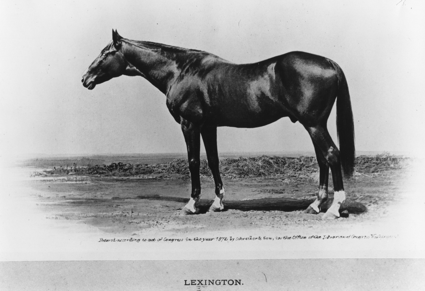 Photograph of Lexington later in life (Keeneland Library Collection/Museum Collection)