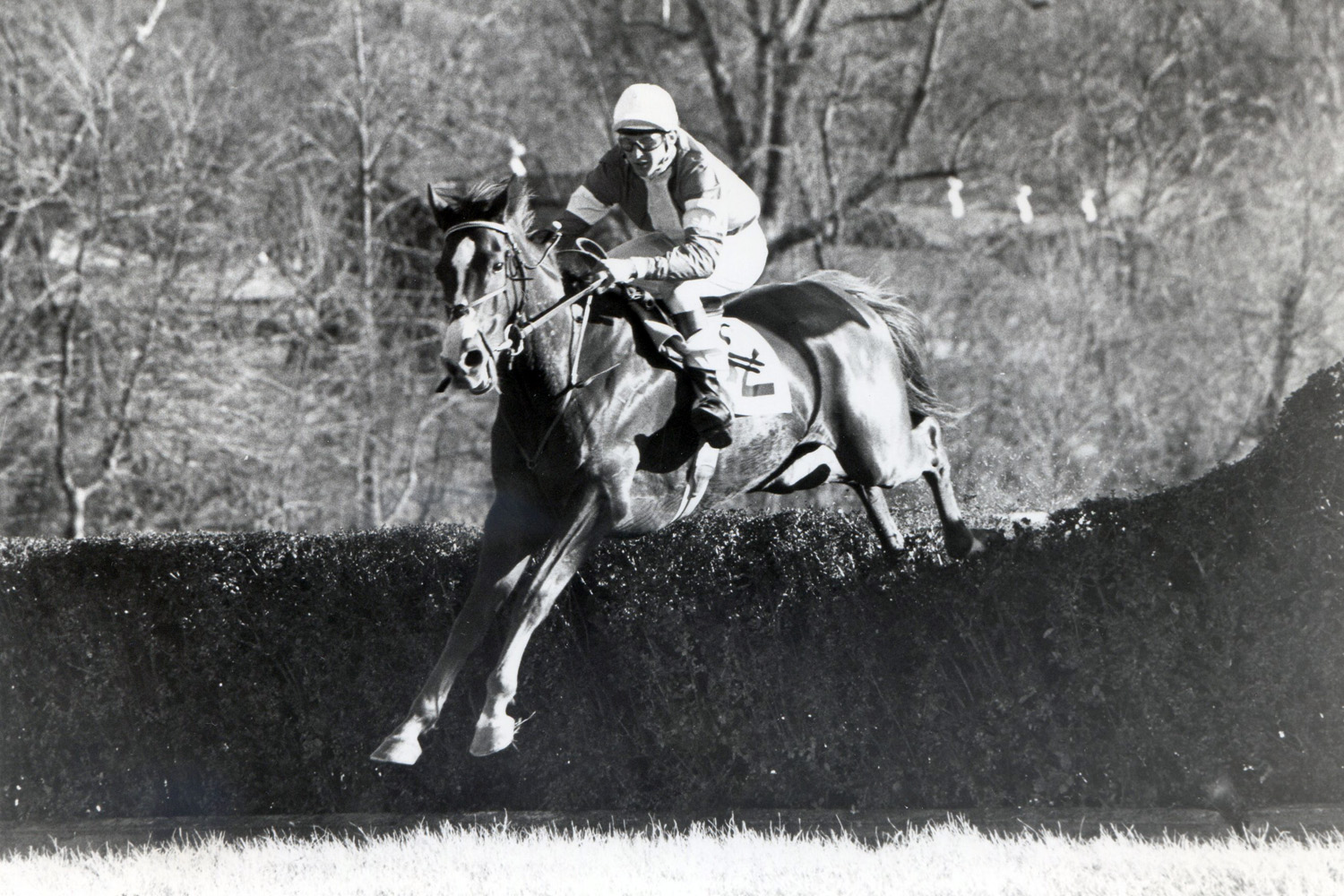 Zaccio (Greg Morris up) clearing a jump on his way to a 15-length victory in the 1981 Noel Laing Handicap Steeplechase at Montpelier (Douglas Lees/Museum Collection)