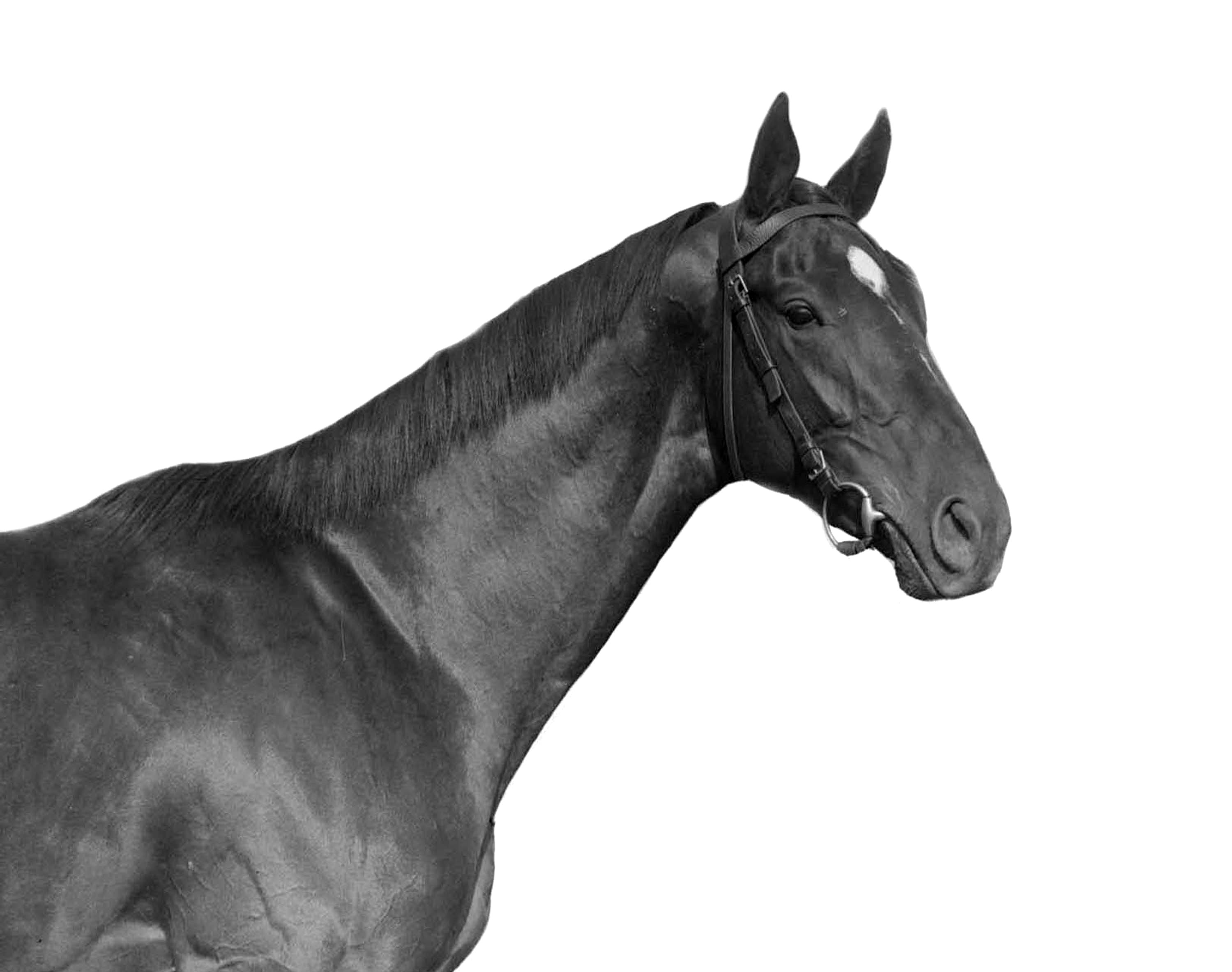 Man o' War (Keeneland Library Cook Collection)